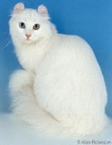 The American Curl Cat Breed