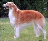 The Borzoi Dog Breed