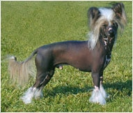 The Chinese Crested Dog Breed