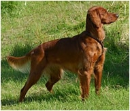 The Irish Setter Dog Breed