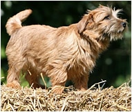 The Norfolk Terrier Dog Breed
