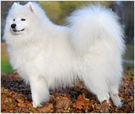 The Samoyed Dog Breed