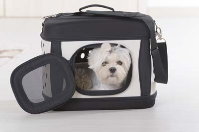 White dog sits in a black and white dog carrier.